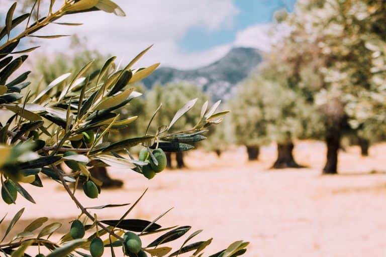 Palestinian olive oil trees